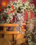 Русский голубой котенок Стоковая Фотография