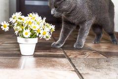 Русский голубой кот и красивые маргаритки белых цветков Стоковые Фото