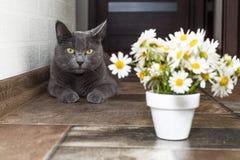 Русский голубой кот и красивые маргаритки белых цветков Стоковое Изображение RF