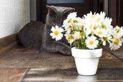 Русский голубой кот и красивые маргаритки белых цветков Стоковые Изображения