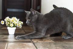 Русский голубой кот и красивые маргаритки белых цветков Стоковая Фотография RF