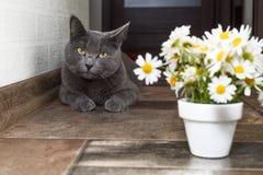 Русский голубой кот и красивые маргаритки белых цветков Стоковое Изображение