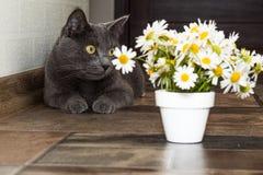 Русский голубой кот и красивые маргаритки белых цветков Стоковая Фотография