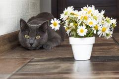 Русский голубой кот и красивые маргаритки белых цветков Стоковое фото RF