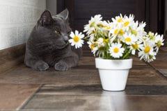 Русский голубой кот и красивые маргаритки белых цветков Стоковые Изображения RF