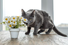 Русский голубой кот и красивые маргаритки белых цветков Стоковые Фотографии RF