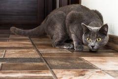 Русский голубой кот получает готовым поскакать Стоковые Изображения RF