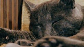 Русский голубой кот уснувший в стуле видеоматериал
