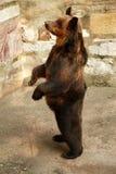 русский медведя Стоковая Фотография RF