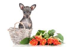 Русский щенок собаки игрушки в корзине с розами Стоковое Изображение RF