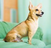 Русский terrier игрушки Стоковое Изображение