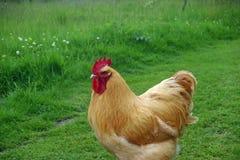 Русый петушок цыпленка Стоковое Изображение