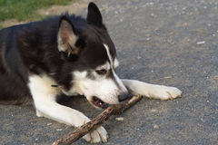 Ручка грызть собаки Стоковое Изображение