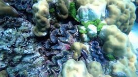 Ручка моллюска на коралле под водой акции видеоматериалы