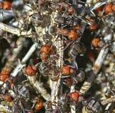 Ручки белых муравьев макроса холма муравья красные Стоковое Изображение