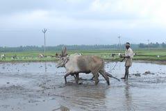 Ручной пахать земли земледелия с волами Стоковые Фото