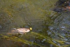 Ручьевая форель рыб зацеплянная сухая муха Стоковое Изображение