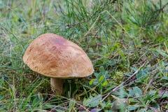 Рудоразборка гриба Стоковые Изображения