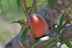 Рудоразборка персика Стоковые Изображения RF