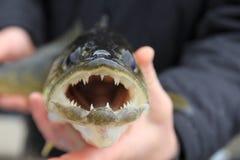 Рыбалка Walleye в руках рыболова стоковые изображения rf