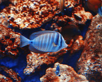 Рыба аквариума малая голубая на апельсине трясет предпосылку Стоковое фото RF