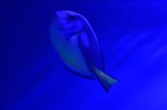 Рыба аквариума плавает глубокое, поднимает вверх Стоковые Фото