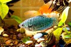 Рыба аквариума плавает в воде с зелеными растениями позади Стоковое Изображение RF