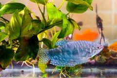 Рыба аквариума плавает в воде с зелеными растениями позади Стоковые Изображения RF