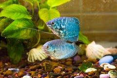 Рыба аквариума плавает в воде с зелеными растениями позади Стоковое фото RF