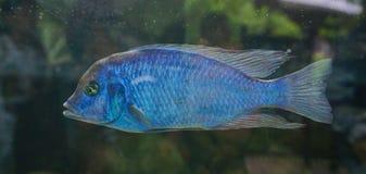 Рыба в аквариуме Стоковое Изображение RF