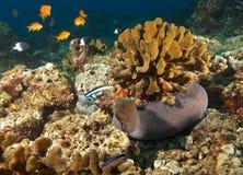 Рыба в Мальдивах ожидая добычи среди underwater коралла, заплывания рыб в бирюзе мочит Стоковые Фотографии RF