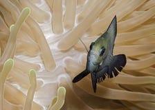 Рыба в черных и желтых тонах в кораллах в Мальдивах смотрит очень уверенно Стоковые Изображения RF