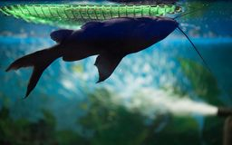 Рыба дельфин-касатки плавает вверх ногами в темном аквариуме Черный Mi стоковое изображение rf