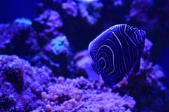 Рыба диска плавает глубоко на утесы и водоросли Стоковое Фото