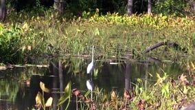 Рыба звероловства Egret сток-видео