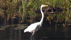 Рыба звероловства Egret акции видеоматериалы