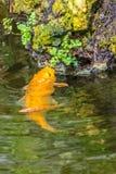Рыба золота в малом пруде ест зеленые листья на утесе, около пруда Стоковое Фото