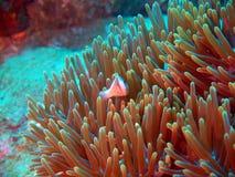 рыба клоуна ветреницы защищает Стоковые Изображения RF