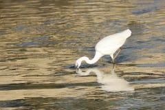 Рыба красивейшей белой цапли заразительная Стоковое Изображение RF