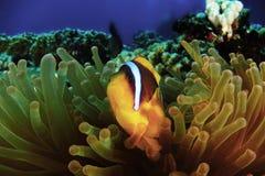 Рыба клоуна ветреницы смотрела любознательной внутри ветреницы Стоковое Изображение