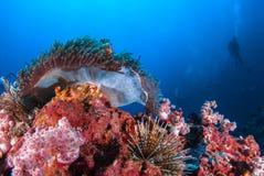 Рыба клоуна в актинии трясет под голубым морем Стоковое Изображение RF