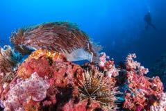 Рыба клоуна в актинии трясет под голубым морем Стоковое фото RF