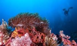 Рыба клоуна в актинии трясет под голубым морем Стоковые Фотографии RF