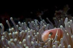 Рыба клоуна смотря вас в Cebu Филиппинах Стоковое Изображение