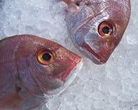 рыба леща возглавляет Красное Море 2 льда Стоковые Изображения