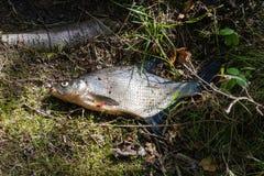 Рыба мертвая около озера на траве Стоковое Изображение