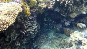 Рыба плавает среди кораллов видеоматериал