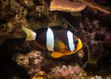 Рыба Рыбы клоуна в морском аквариуме Стоковое Изображение RF