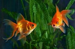 Рыбка, аквариум, аквариумные растениа Стоковое Изображение RF