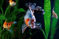 Рыбка, аквариум, группа в составе рыбы на предпосылке аквариумных растени Стоковые Фото